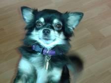 Chihuahua Tess kansloos tegen Italiaanse buurhond in Lemele