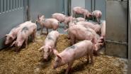 132 kilometer per uur 'om varkenslucht uit auto te krijgen'