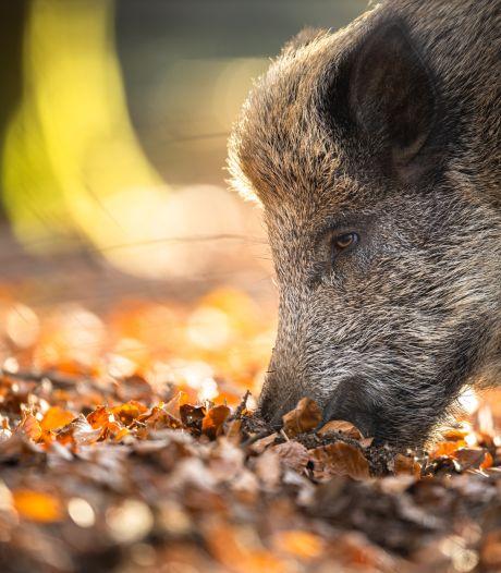 Wilde zwijnen rukken steeds verder op in Brabant; boeren bezorgd, restaurants blij