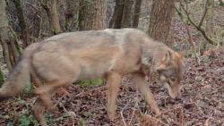 Daar zijn de eerste dagbeelden van wolvin Noëlla, mogelijk ook nieuwe wolf op komst