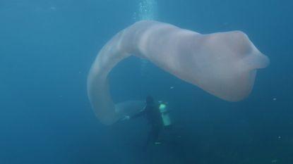 Duikers filmen gigantische zeeworm die bestaat uit duizenden kleine organismen
