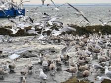 Honderden meeuwen verzamelen zich op het Quackstrand en dít is de reden