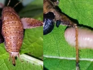 De horror der natuur: parasiet kruipt uit 'gastvrije' krekel