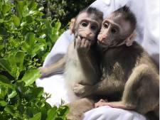 Chinese wetenschappers maken apen (een beetje) slimmer met menselijke genen
