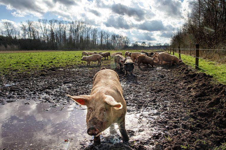 Geen provincie heeft meer varkens en kippen dan Noord-Brabant. Heet hangijzer is hier dan ook landbouwbeleid, vooral omtrent stikstof. Beeld Hollandse Hoogte / Dolph Cantrijn