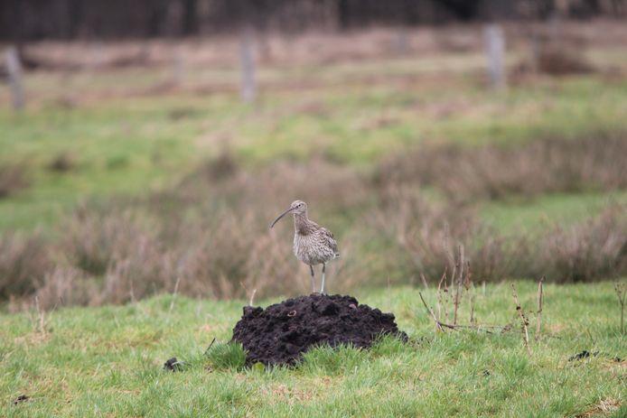 Sommige wulpen zijn al in februari terug in de broedgebieden.
