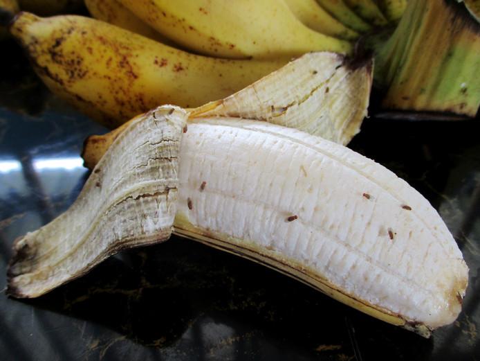 Fruitvliegjes komen niet alleen af op de banaan, maar ook op de schil als je die in de prullenbak gooit.