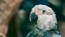 Wereldprimeur: Paira Daiza leert papegaaien overleven in het wild