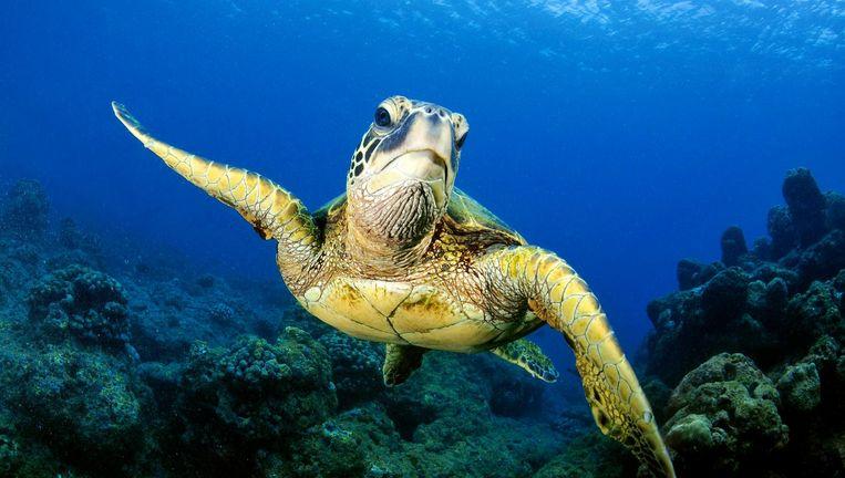 Groen zeeschildpad in de buurt van Hawaii. Beeld Science Photo Library