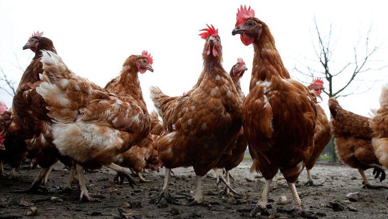 Tussen 2001 en 2015 moest de helft van de kippenboeren rondkomen van minder dan 22.300 euro bruto per jaar. Beeld anp