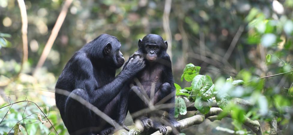 Wees blij dat u als man geen bonobo bent, dan had u helemaal niets te vertellen gehad