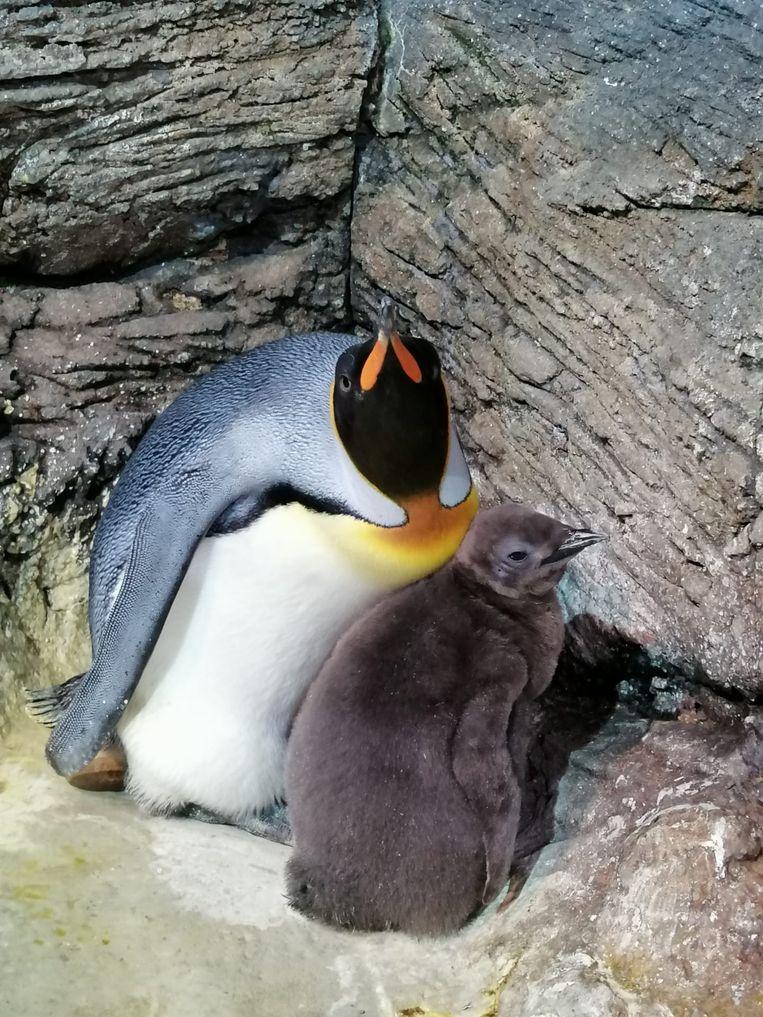 Pinguïn Urban is flink gegroeid