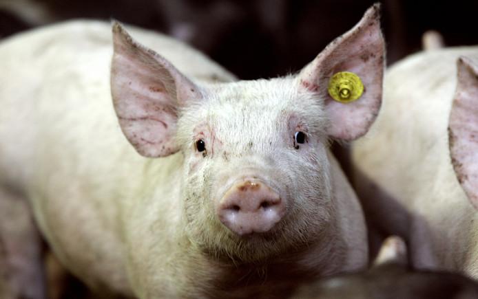 De biggen raakten besmet met het hormoon MPA door het eten van besmet voedsel.