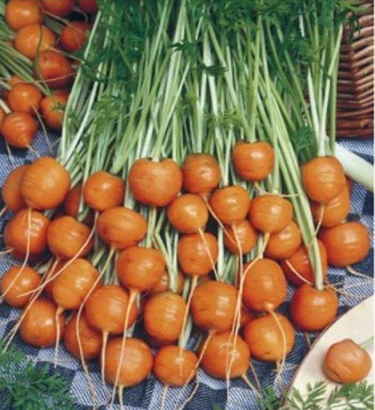 De Parijse wortel, ideaal voor wie enkel een stadsbalkonnetje heeft om te zaaien.