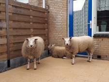 Verdwaalde schapen belanden in achtertuin Hoek van Holland