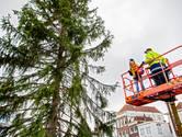 Noorse kerstboom maandag in Gouda opgetuigd door kindercollege