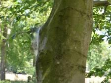 'Jeukrups' vind je niet alleen in eiken, ook beukenbomen zijn niet veilig