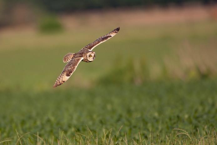 Overdag vliegend, typisch voor een velduil. Dit is dus geen uil uit de Loonse en Drunense Duinen.