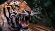 Woedende menigte Indiërs doodt tijger met tractor na aanval op mens