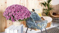 Chrysanten zijn niet alleen mooi op het kerkhof: zo houd je ze mooi en gezond