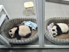 Slaapzaal voor verzorgers en extra bewakers: dát staat Ouwehands te wachten als er écht een pandababy komt