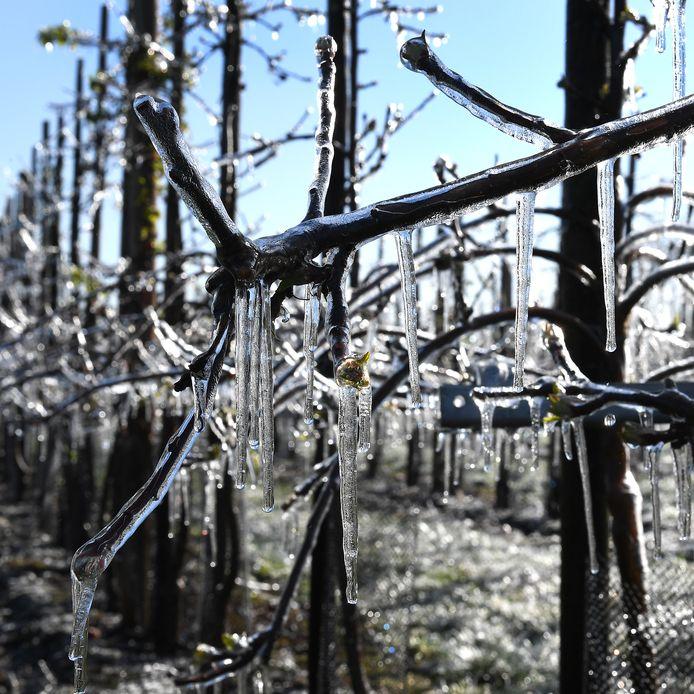Bij fruitteler Stevens in Sambeek wordt beregend. Door nachtvorst kunnen knoppen kapotvriezen. Een ijslaagje bescherm.