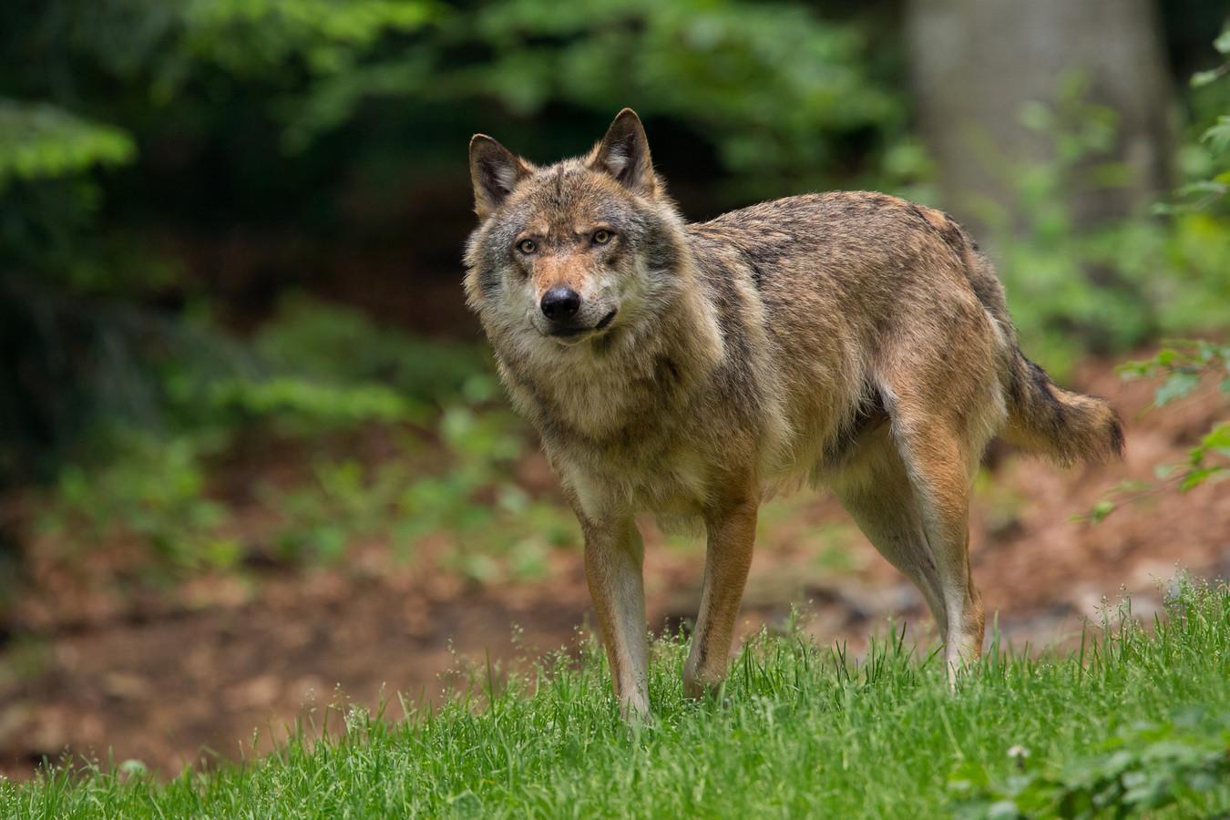 stockadr wolf