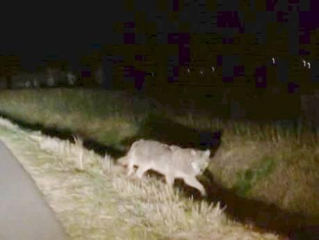 Wolf gezien bij Wageningen en in Betuwe: 'Mijn jachthond werd gek'