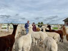 'Lang nagedacht over alpaca's? Welnee, we waren direct verliefd'