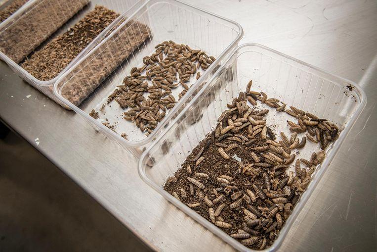 Evolutie van de zwarte soldatenvlieg wordt in verschillende stappen gevolgd: van dag 1 tot en met dag 10.