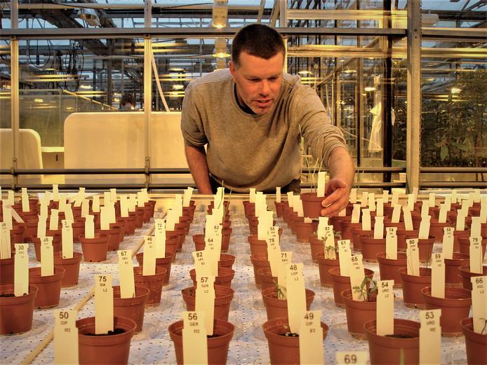 Wieger Wamelink controleert de groenteplantjes (slabonen) die groeien met hulp van struviet uit onder meer de waterzuivering in Den Bosch.