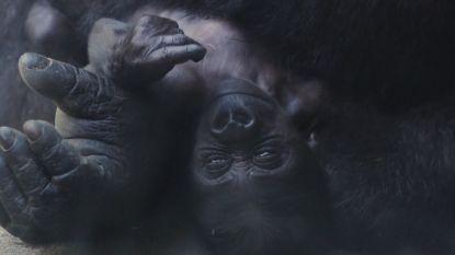 Schattige gorillababy voorgesteld aan publiek