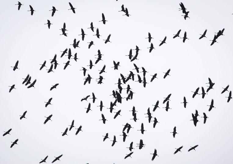 Kraanvogels vliegen in een grijze lucht.