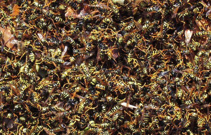 Wespen zochten een plekje bij een woning in Veen (foto ter illustratie).