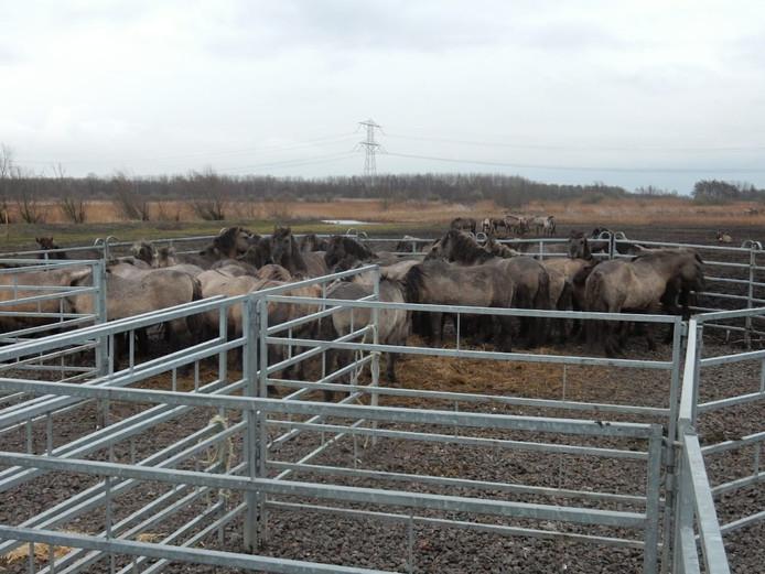 Konikpaarden in het Oostvaardersveld
