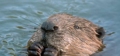 Bevers, vogels en beschermde vissen weer terug bij IJssel