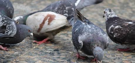 Druten grijpt in bij duivenhinder
