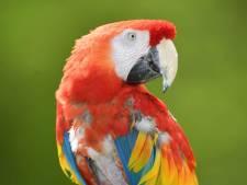 'Drugsdealende papegaai' opgepakt door politie