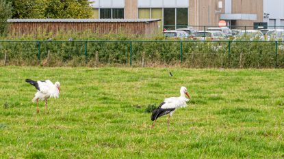 Ooievaars rusten even uit in Huizingen voor de grote trek