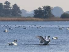 Knobbelzwaan verovert de meren in De Wieden