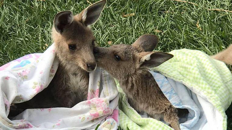Creatievelingen maken dekentjes voor de dieren die getroffen werden door de Australische bosbranden.