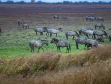 Staatsbosbeheer: konikpaarden Oostvaardersveld niet te koop