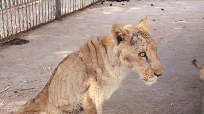 """Uitgemergelde leeuwen schokken bezoekers dierentuin Soedan: """"Extreem ondervoed"""""""