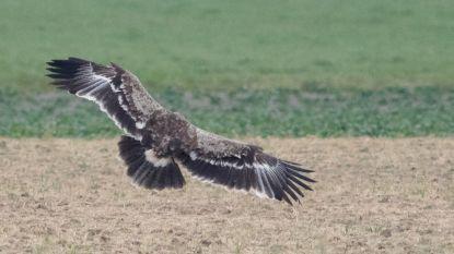 """Ook steppearend gespot in ons land: """"2020 nu al historisch jaar voor zeldzame roofvogels in België"""""""
