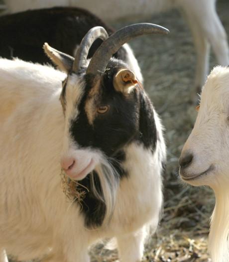 Meierijstad: opkopen van geitenbedrijven is nu niet aan orde