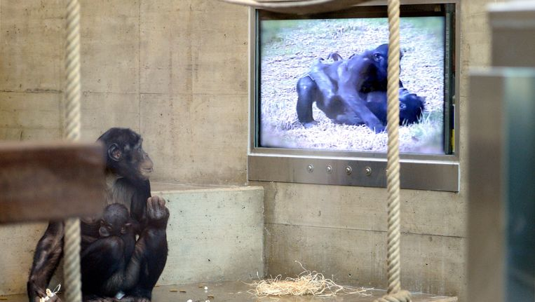 Een Bonobo kijkt naar een film. Beeld afp