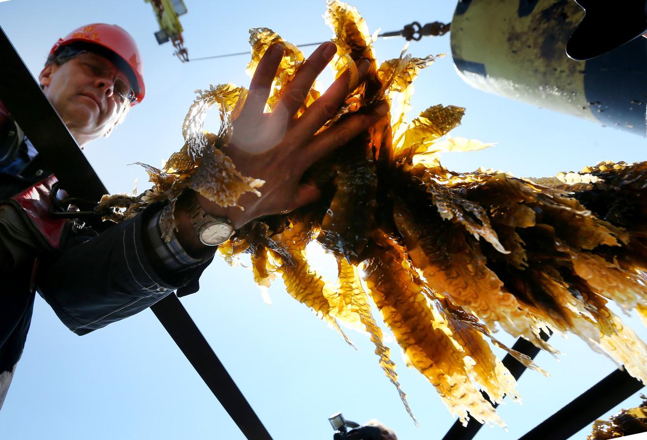 Een man aan boord van de MS Terschelling oogst zeewier uit de Nederlandse Noordzee wordt aan boord gehaald van de MS Terschelling.