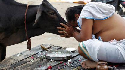 Moslim gelyncht voor dood koe in India