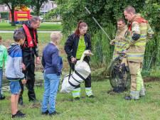 Verzwakte zwaan biedt flink weerstand op Urk, maar wordt gered door de brandweer