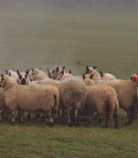 Honden bijten schaap dood in Doorwerth, baasje scheurt weg